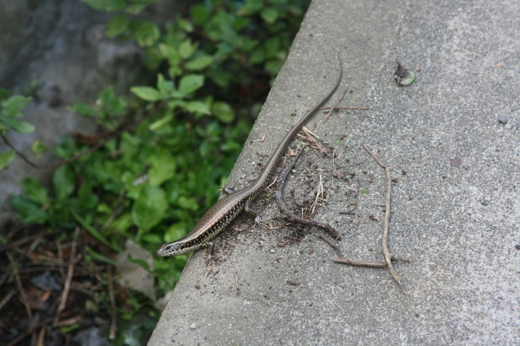 Common Garden Skink lizard