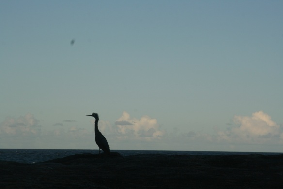 Evening silhouette of a White-faced Heron at the end of our walk back to Coogee