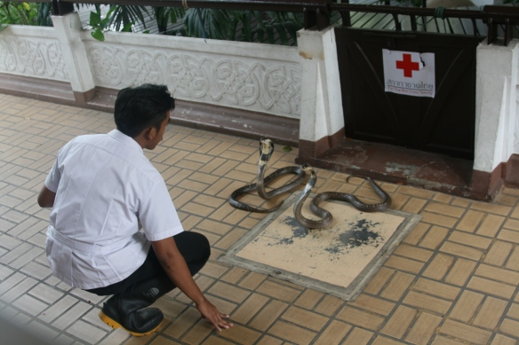 Siamese Cobras, Thailand's most deadly snake, and their charmer