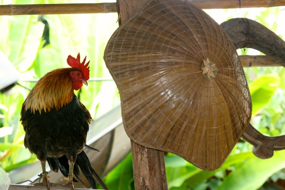 Domestic rooster used to attract wild chickens during a hunt.